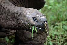 Galápagos_tortoise_Santa_Cruz