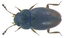 Ptenidium_pusillum_(Gyllenhal,_1808)_(3232041856)