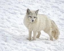arctic-fox-1170655__180