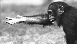 Chimp_gesture
