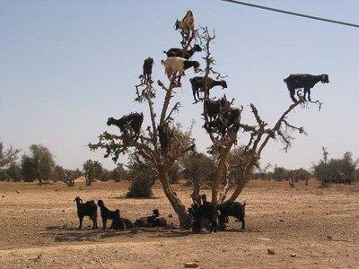 tree_goats2