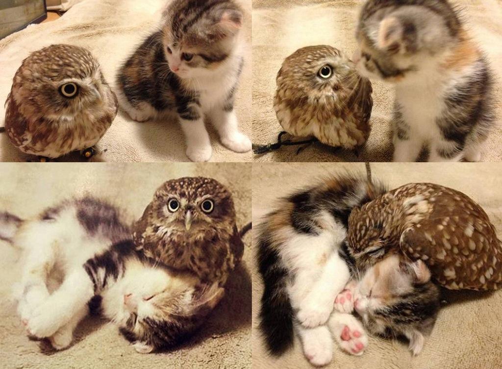 cat-owl