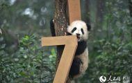 panda cubs New Year