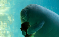Manatee Appreciation Day