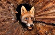 Easter Fox